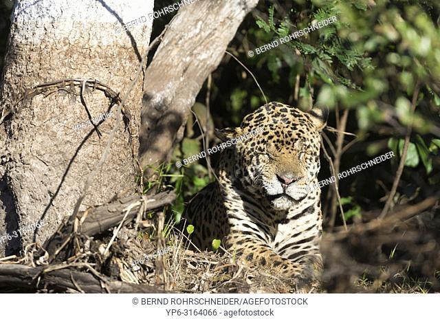 Jaguar (Panthera onca), old male resting on riverbank, Pantanal, Mato Grosso, Brazil