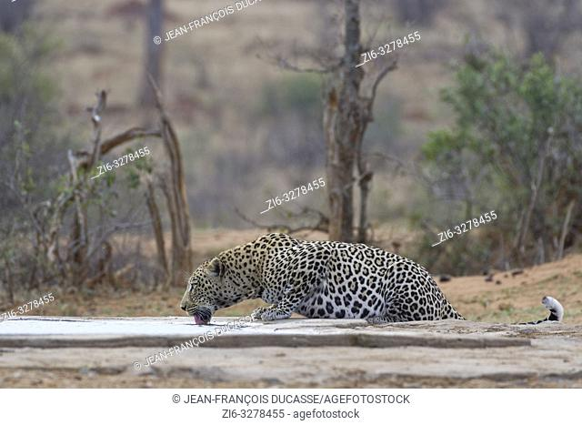 African leopard (Panthera pardus pardus), adult male, drinking at a waterhole at dusk, Kruger National Park, South Africa, Africa