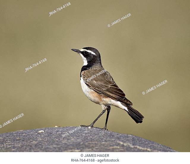 Capped wheatear (Oenanthe pileata), Serengeti National Park, Tanzania, East Africa, Africa