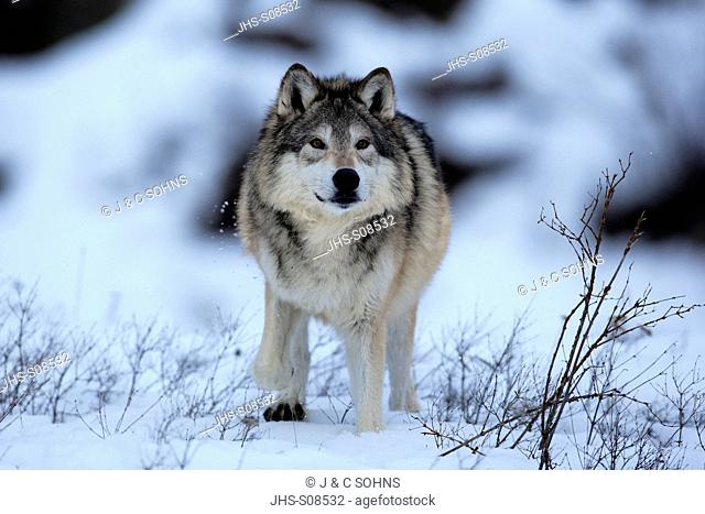Gray Wolf,Canis lupus,Montana,North America,USA,adult in snow