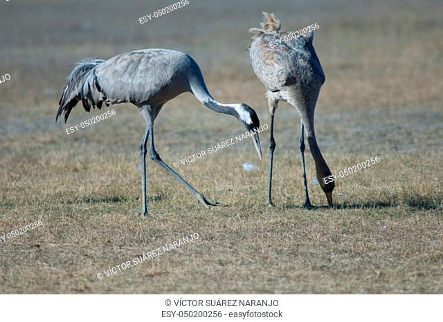 Common cranes (Grus grus). Adult and juvenile searching for food. Gallocanta Lagoon Natural Reserve. Aragon. Spain