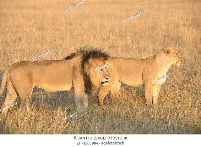 lion and lioness in savanna in Masai Mara, Kenia