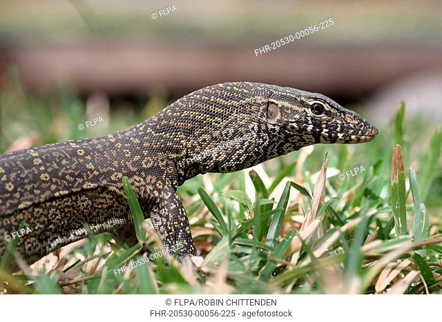 Nile Monitor Varanus niloticus immature, close-up of head and front legs, Gambia, february