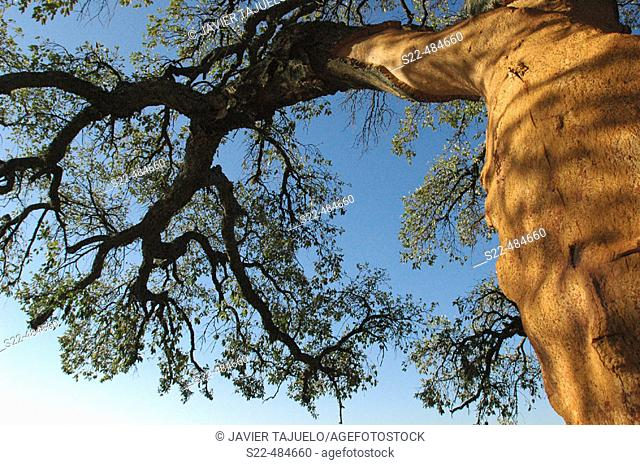 Cork oak with bark removed (see the orange colour on trunk). Sierra Morena, Jaén, Andalusia, Spain