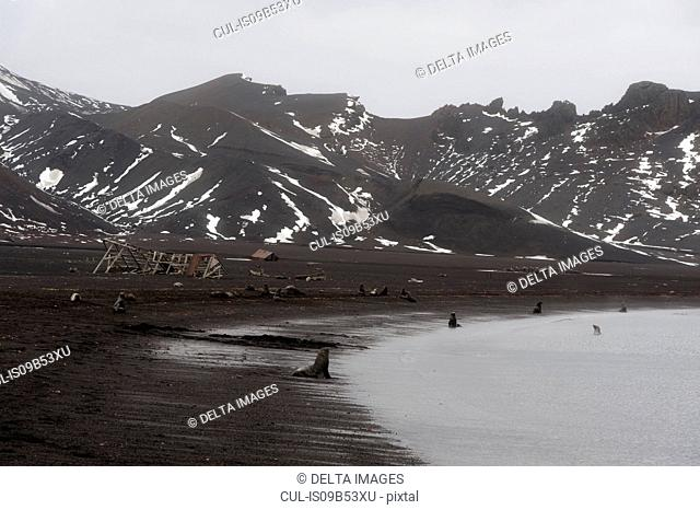 Antarctic fur seals (Arctocephalus gazella) along coast, Deception Island, Antarctica