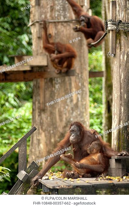 Bornean Orang-utan Pongo pygmaeus adult female with baby, on feeding platform, Sepilok Rehabilitation Centre, Sabah, Borneo, Malaysia