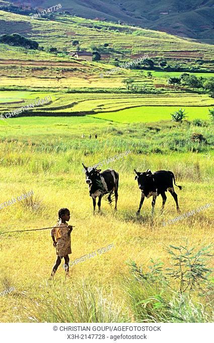 young cowherd around Ambalavao, Central Highlands, Republic of Madagascar, Indian Ocean