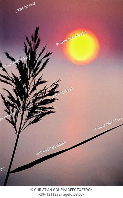 reed at sunset, Camargue, Bouches du Rhone department, Provence, Southeastern of France, Europe