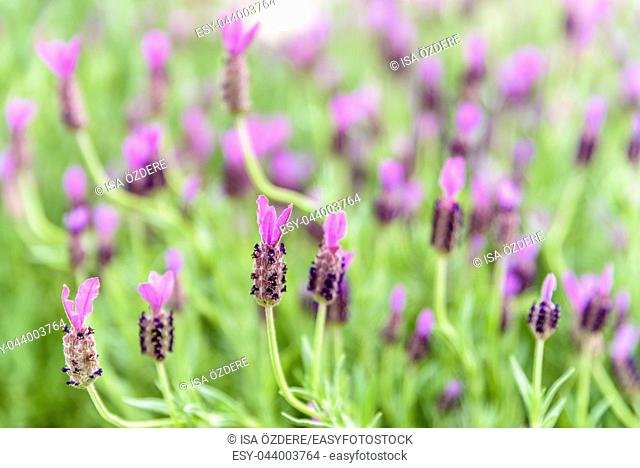 Top view of Lavender flower field, fresh purple aromatic flowers for natural background