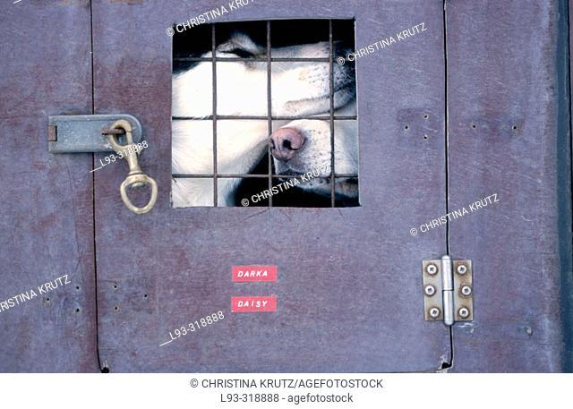 Huskies in transport box