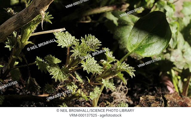 Stinging nettles (Urtica dioica) growing on a woodland floor. This plant is covered in fine hairs that inject a stinging chemical when touched