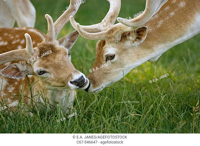 Fallow Deer (Dama dama). Bucks in velvet