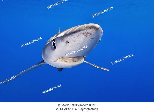 Blue Shark, Prionace glauca, Big Island, Hawaii, USA