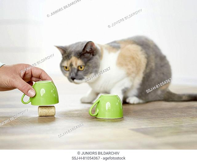 British Shorthair cat. Tricolored adult playing a shell game. Germany