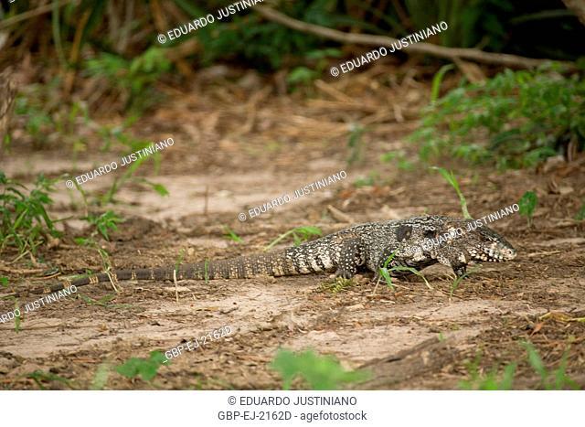 Teiú (Tupinambis teguixin), Lizard, Reptilia, Miranda, Mato Grosso do Sul, Brazil