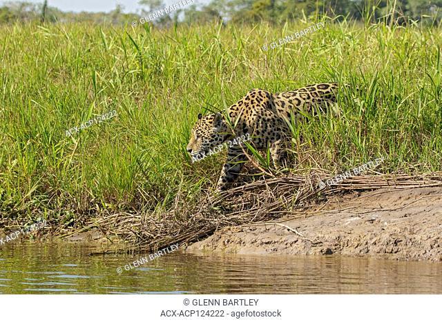 A Jaguar in the Pantalal region of Brazil