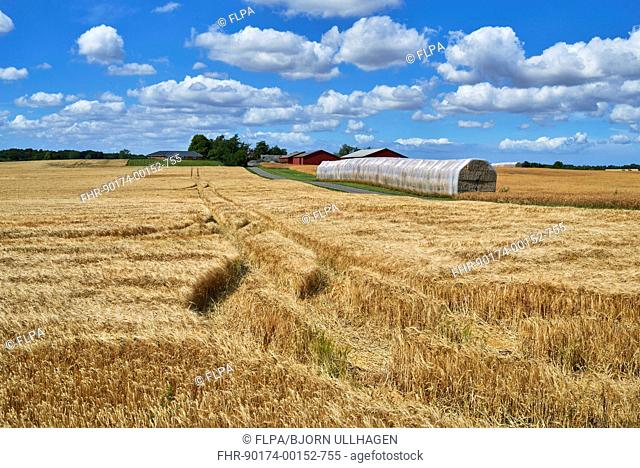 Barley (Hordeum vulgare) crop, ripening field with plastic wrapped bales and farmhouse, Denmark, August