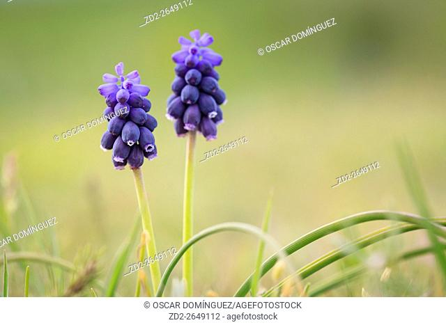 Grape Hyacinth (Muscari neglectum) in flower. Lleida province. Catalonia. Spain