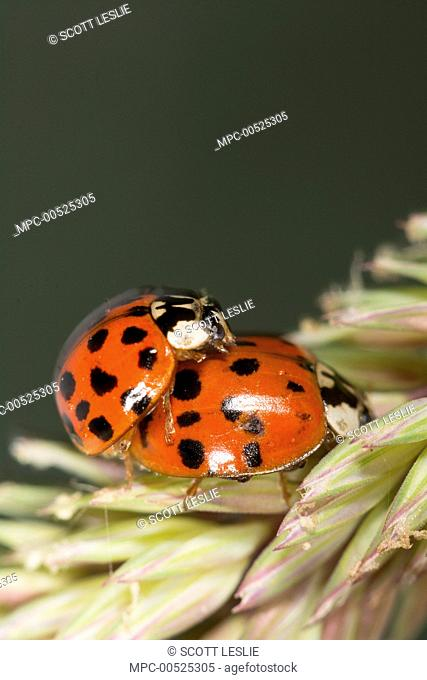 Asian Ladybird Beetle (Harmonia axyridis), an invasive species, on grass stems, Nova Scotia, Canada