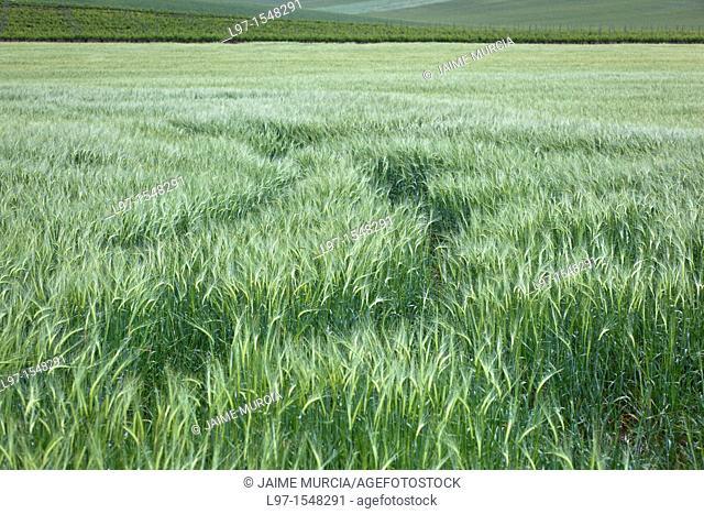 Traks in a wheat field along the Camino de Santiago