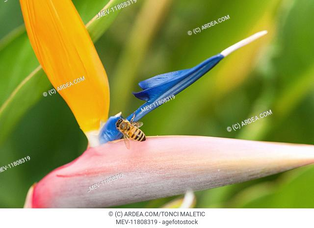 Particular of inflorescence of crane flower or bird of paradise (Strelitzia reginae) with honey bee, Liguria, Italy
