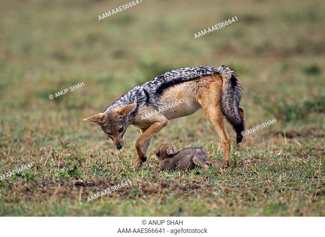 Black-backed jackal 'helper' playing with two week old pup (Canis mesomelas). Maasai Mara National Reserve, Kenya. Aug 2011
