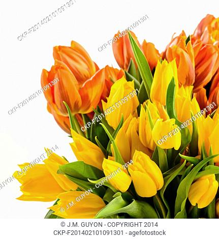 Bunch of spring tulips flowers colorful on white background
