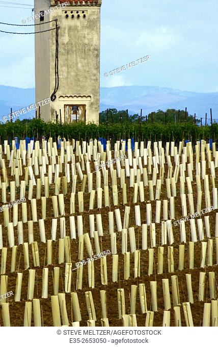 Newly planted vines are protected from rabbits by paper wrappings. A workers' mazet or shelter is in the background