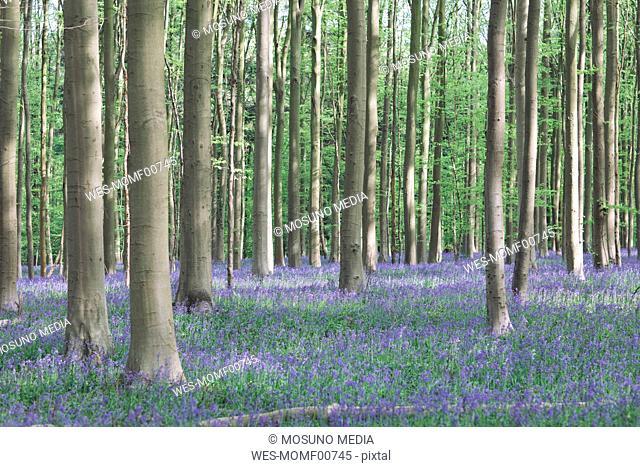 Bluebell flowers carpet in Hallerbos National park, Belgium