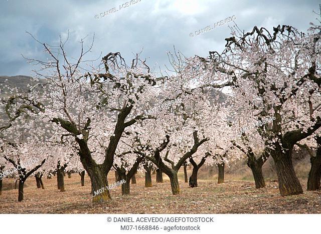 Almond trees in blossom, Biosfera reserve, Leza valley, Rioja wine region, Spain