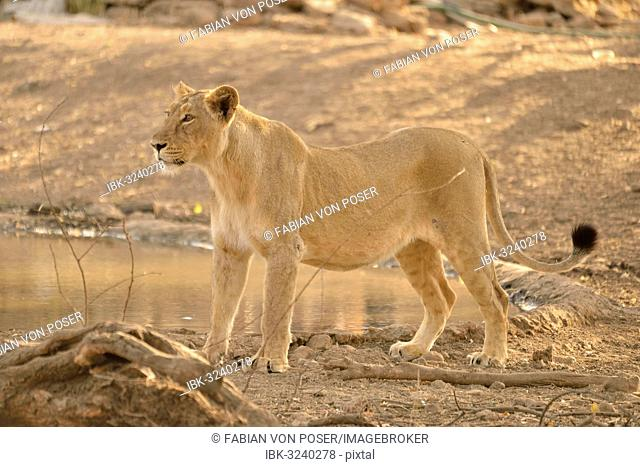Asiatic Lion (Panthera leo persica), lioness, Gir Forest National Park, Gir Sanctuary, Gujarat, India