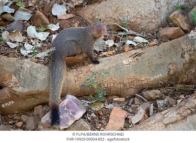 Ruddy Mongoose (Herpestes smithii) adult, sitting on rocks and tree roots, Ranthambore N.P., Rajasthan, India, March