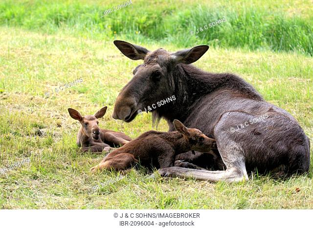 Eurasian elks, moose (Alces alces), cow moose and two calves, Scandinavia, Europe