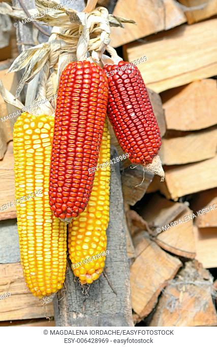 ripe corn cobs hanging. yellow and red