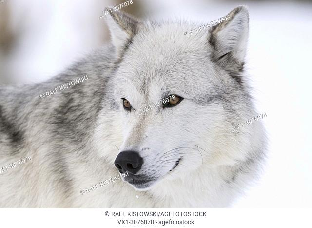 Gray Wolf ( Canis lupus ) in winter, dateilled close-up, headshot, beautiful amber coloured eyes, captive, Yellowstone area, Wyoming, USA
