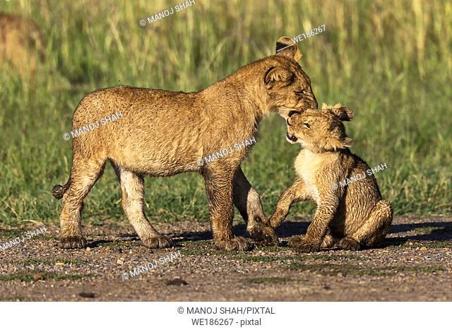 Lion cubs play fighting, Masai Mara National Reserve, Kenya
