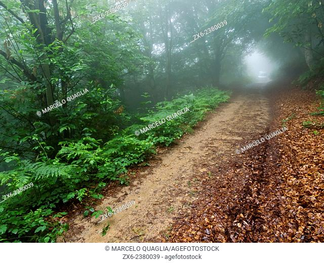 Chestnut trees and beech forest on a rainy afternoon. Montseny Natural Park. Barcelona province, Catalonia, Spain