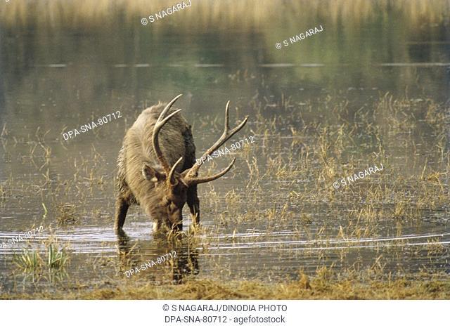 Sambar Stag cervus unicolor , india