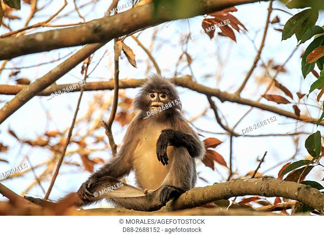 South east Asia, India, Tripura state, Phayre's leaf monkey or Phayre's langur (Trachypithecus phayrei)
