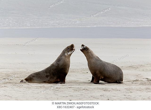 Australian Sea Lion Neophoca cinerea in the Seal Bay Conservatino Park, kangaroo Island, South Australia  Australian Sea Lion are a rare and protected pinniped...