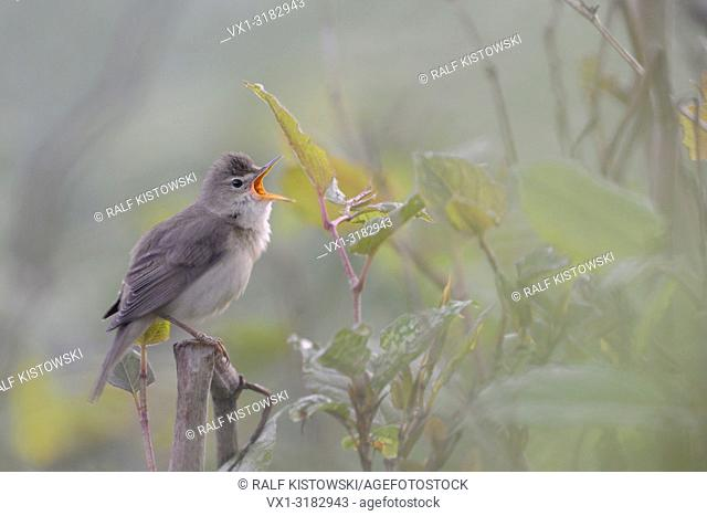 Marsh Warbler ( Acrocephalus palustris ) singing its song in beautiful surrounding