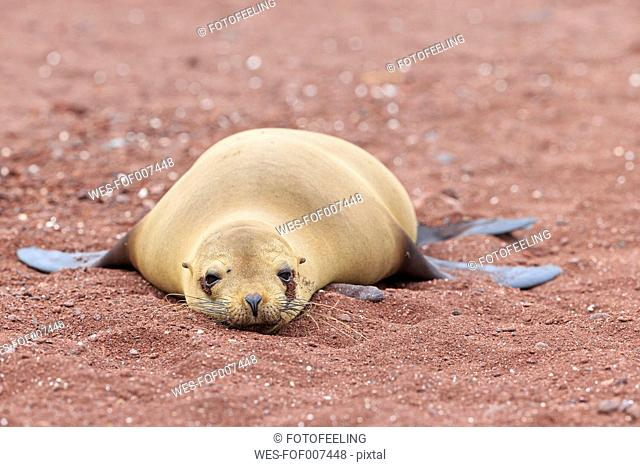 Ecuador, Galapagos Islands, Rabida, sea lion lying on red sandy beach