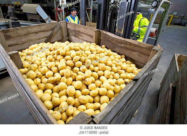 Worker with forklift moving bin of fresh harvested potatoes