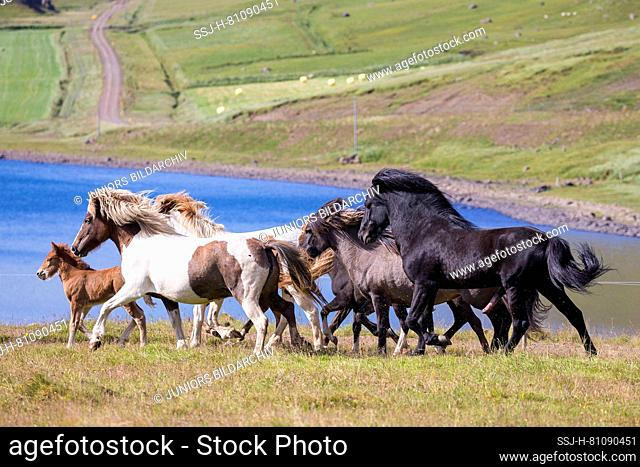 Icelandic Horse. Black stallion driving its harem near the coast. Iceland