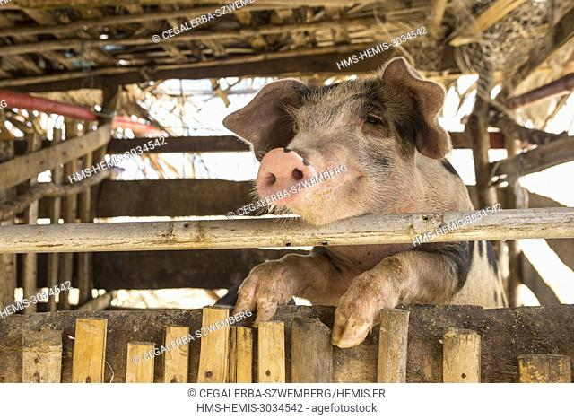 Philippines, Palawan, Aborlan, Sombrero Island, pig in the backyard of a traditional house