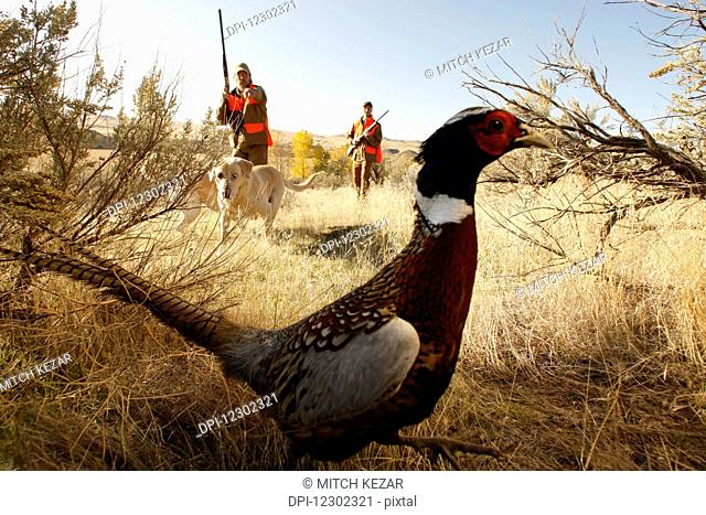 Two Upland Bird Hunters Stalking A Pheasant
