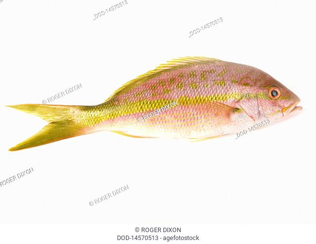 Yellow tail snapper, close-up