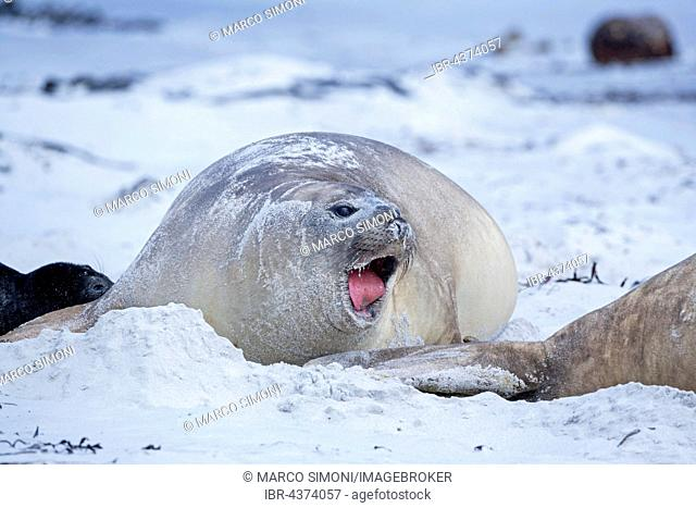 Southern sea lion (Otaria flavescens), Sea Lion Island, South Atlantic, Falkland Islands