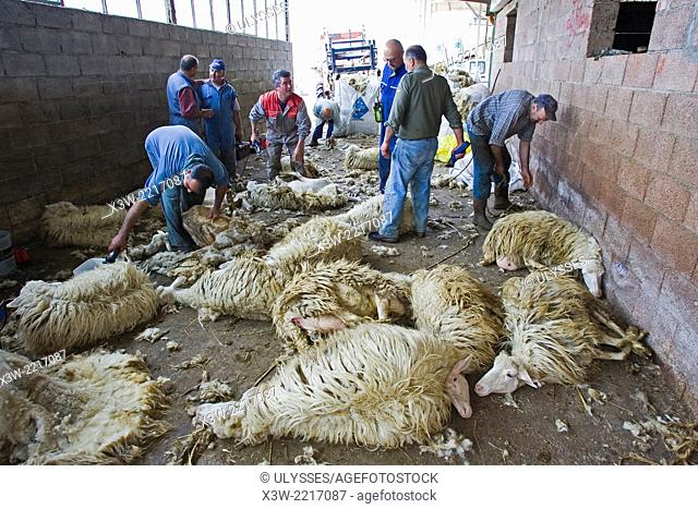 europe, italy, tuscany, serre di rapolano, crete senesi area, olivera ranch, sheeps, sheep-shearing