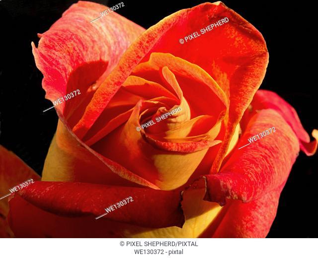 Rose variegated